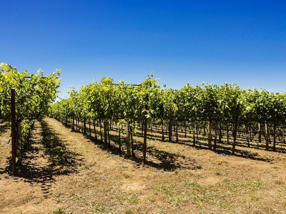 Vineyard Auction