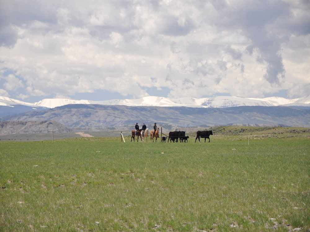 Wyoming Working Cattle