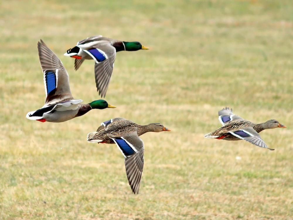 St. Francis Duck Preserve